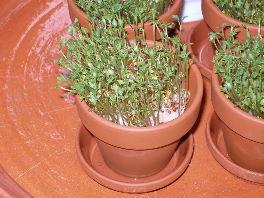 wächst kresse ohne wasser